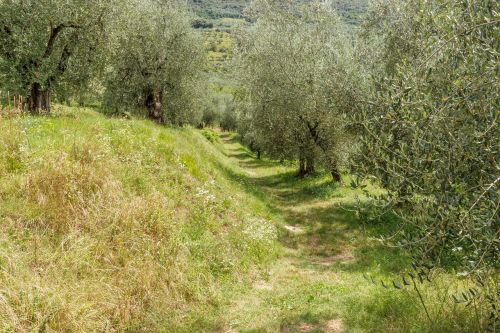 olive grove olives trees