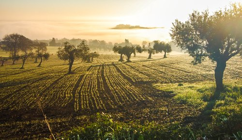 olive grove  olive  castelfidardo