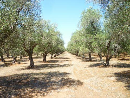 olive grove puglia oil