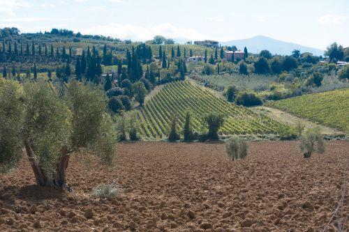 olive grove landscape cypress