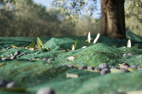 olive harvest oil oliva