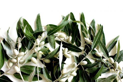 olive leaf olives plant
