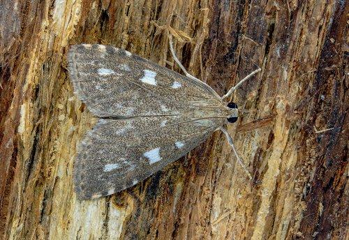 olive pearl  moth  micro