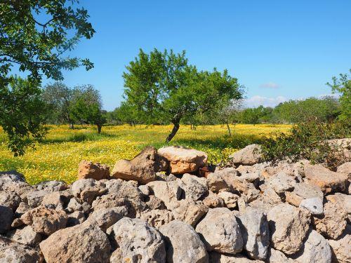 olive tree olive grove stone wall
