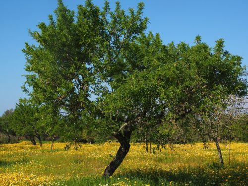 olive tree olive grove flower meadow