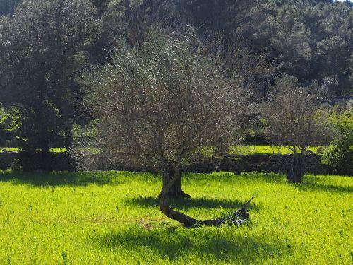 olive tree olive plantation plantation