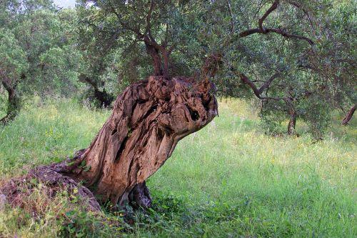 olive tree tree olive grove