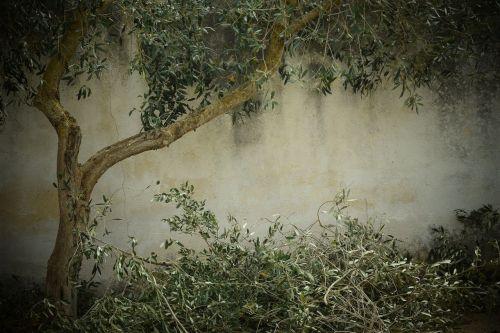 olive tree nostalgia background