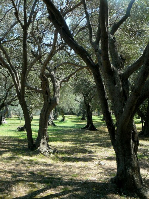 olive tree park adriatic coast