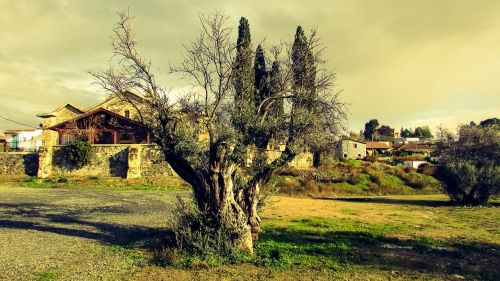 olive tree nature countryside