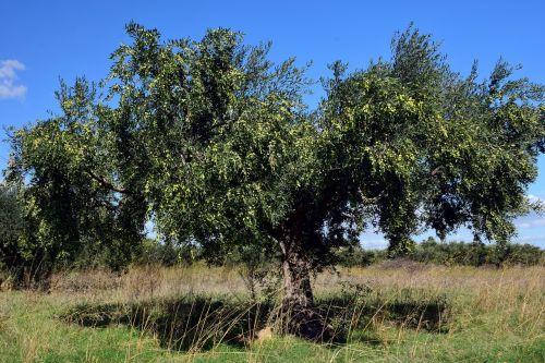 olive tree olivier tree