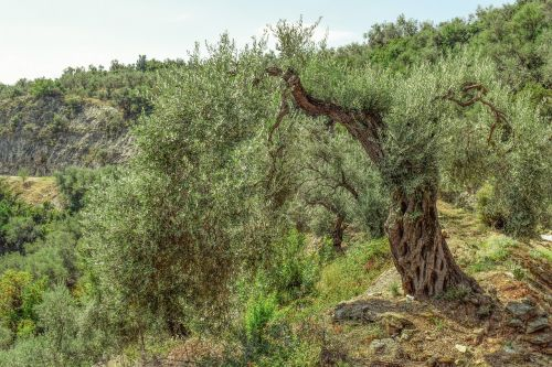 olive tree countryside nature