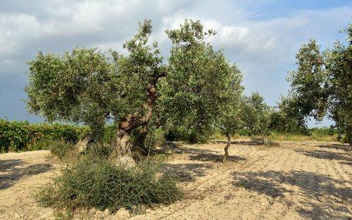 olive tree  olive field  mediterranean