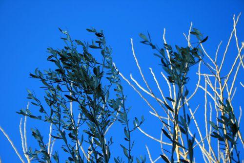 Olive Tree Top