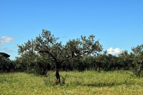 olive trees tree nature