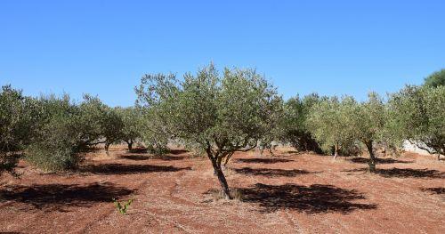 olive trees field tree