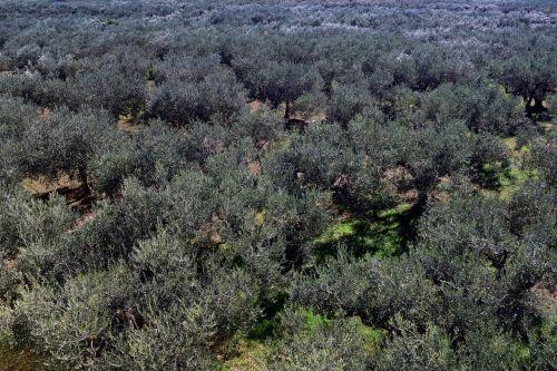 olive trees plantation olive grove