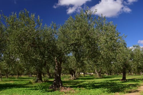 olive trees olive field mediterranean