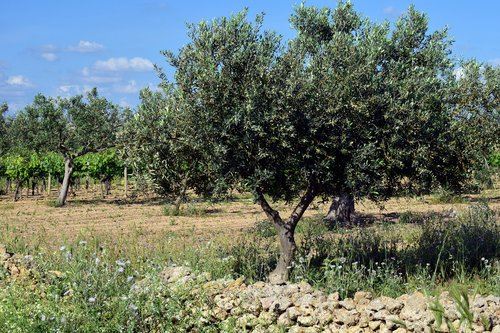 olive trees  plantation  tree