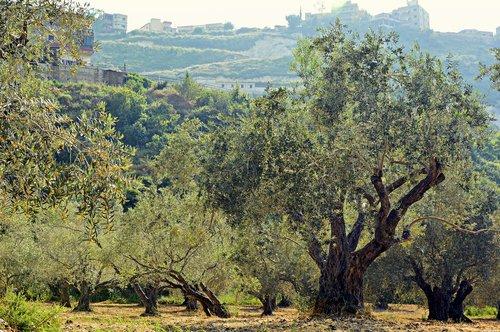 olive trees  trees  olive grove