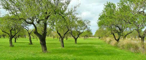 olive trees trees nature