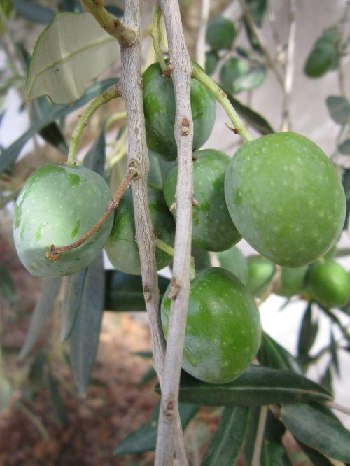 olives olive tree branch