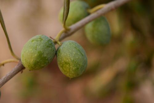 olives green olives green
