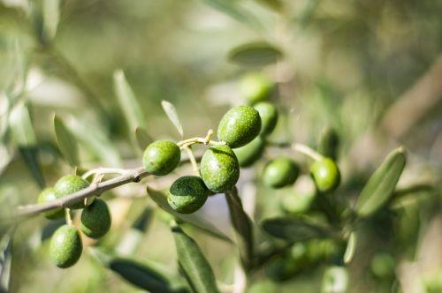 olives tree olive tree