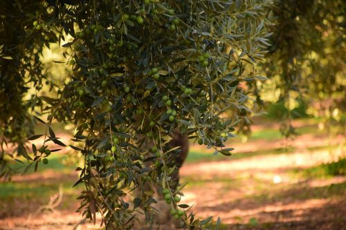 olives olive tree nature