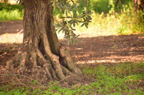 olives olive tree nature