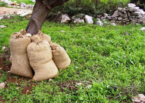 olives harvest sacks