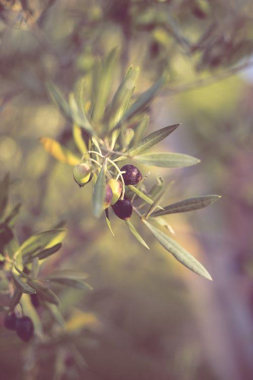 olives olive tree olive branch