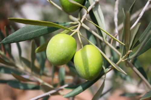 olives branch oil
