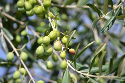 olives green olives olive grove