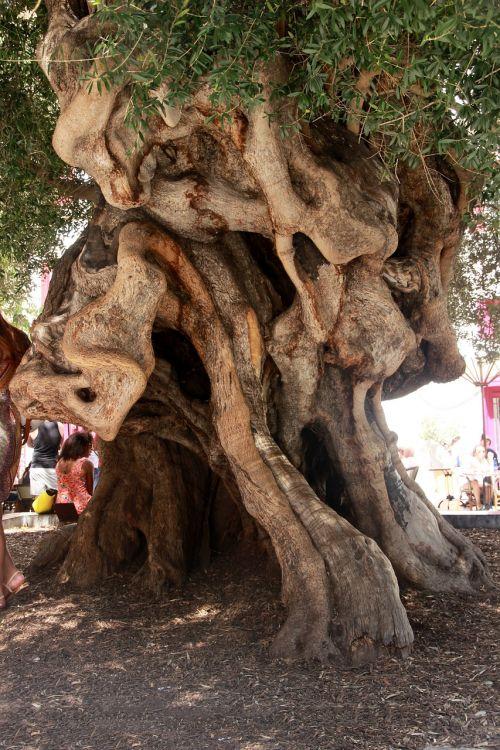 olivier olive tree tribe