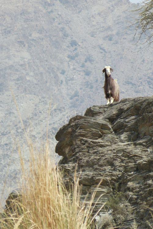 oman wadi goat