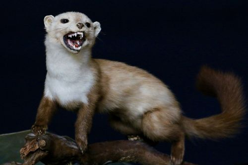 omnivore weasel predator