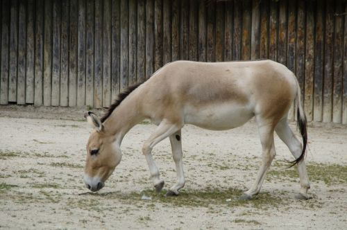 onager donkey asian ass
