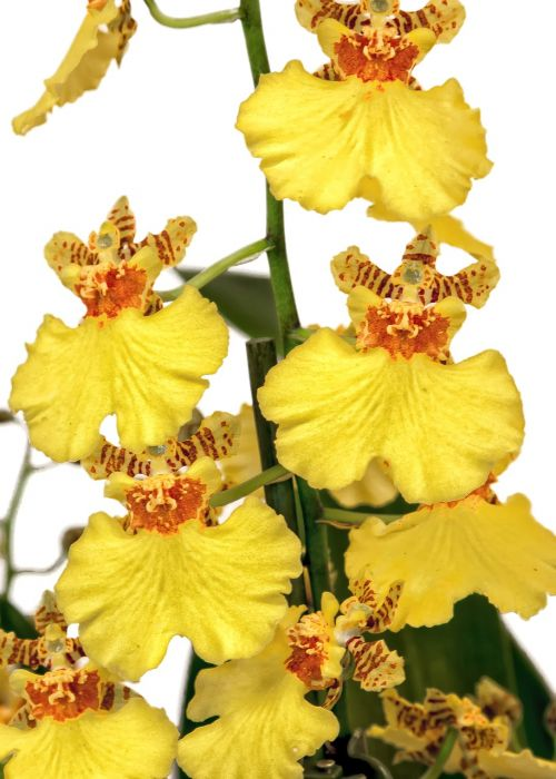 oncidium orchid yellow