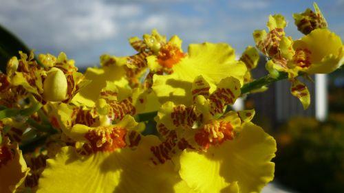 oncidium flower orchid