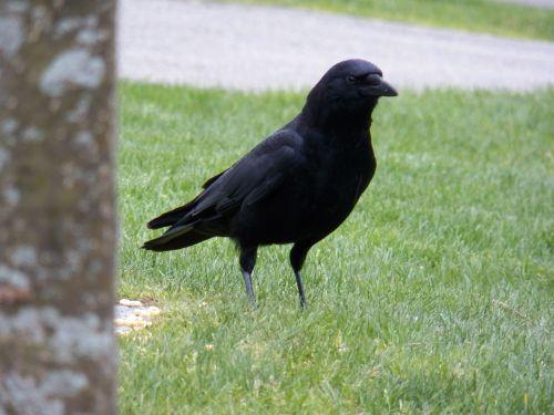 varna, varnos, juoda paukštis, parkas, parkai, žolė, veja, paukštis, paukščiai, gyvūnas, gyvūnai, gamta, viena juoda varna