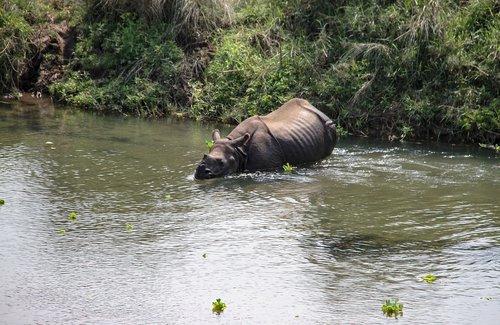 one horned rhino  national park  nepal