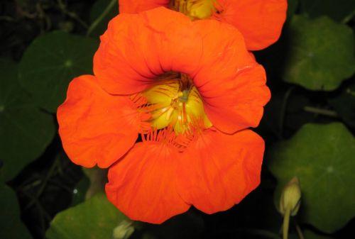One Orange Nasturtium