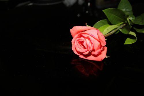 rožė, gėlė, oranžinė & nbsp, rožė, viena rožė, fonas, žiedlapiai, makro, tapetai, viena rožė