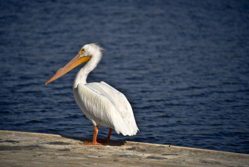 One White Pelican