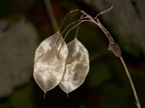 one year silver leaf lunaria annua silver leaf