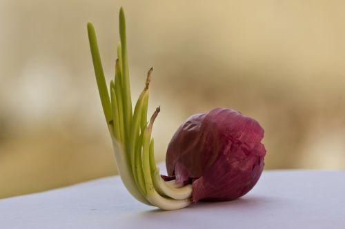 onion red onion bulb