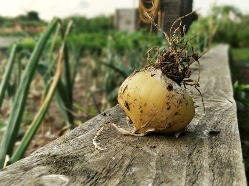 svogūnai,svogūnai,daržovės,sodas,sodininkystė,sodininkas,paskirstymas,mediena,augimas,auga