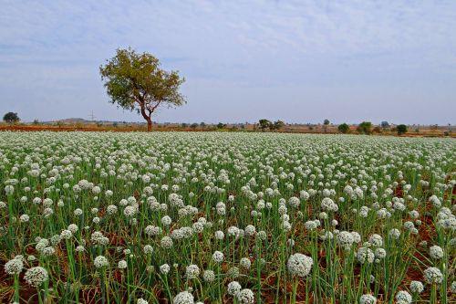 onion flower seed-farming crop