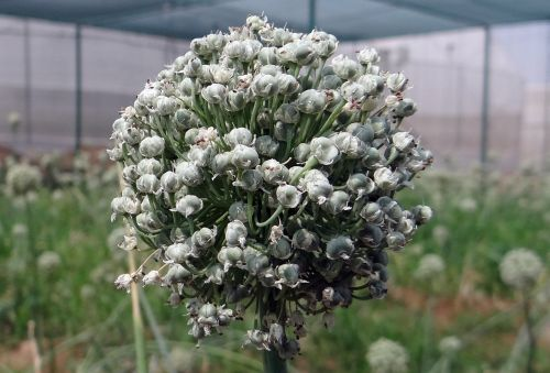 onion flower flower flower spike